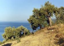 drzew oliwnych greece Fotografia Royalty Free