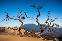 Drzewa śmierć w Kawah Ijen wulkanu górze obraz royalty free