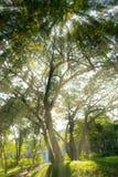 Drzewa światło z powrotem Zdjęcie Royalty Free