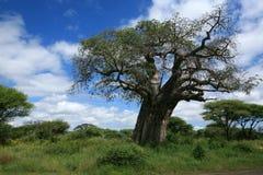 drzewa baobabu Zdjęcia Stock