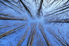 Drzewa bez liścia Zdjęcie Stock
