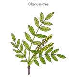 Drzewa Boswellia sacra lub frankincens, aromatyczny drzewo royalty ilustracja