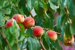 drzewa brzoskwiniowe Zdjęcia Stock