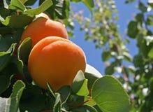 drzewa brzoskwiniowe Zdjęcie Stock