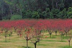 drzewa brzoskwiniowe Zdjęcie Royalty Free
