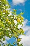 drzewa cytrynowe Obrazy Royalty Free