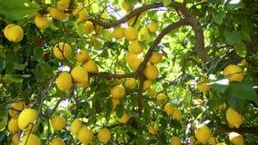 drzewa cytrynowe Fotografia Royalty Free