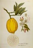 drzewa cytrynowe Obrazy Stock