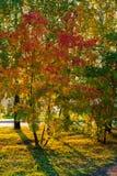 Drzewa czerwieniący w jesień Zdjęcie Royalty Free