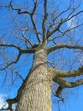 drzewa dębowego zimy. obrazy stock