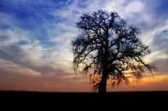 drzewa dębowego zimy. Obraz Stock