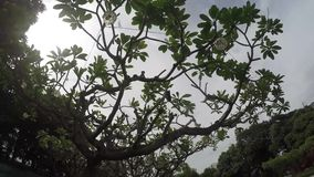 Drzewa dekorują xvi wiek Intramuros izolujący miasto sądu jard zdjęcie wideo