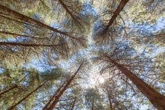 Drzewa dosięga dla światła słonecznego Obraz Royalty Free