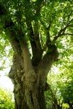 Drzewa El Ejido park 002 Fotografia Royalty Free