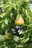 drzewa gruszki Fotografia Stock