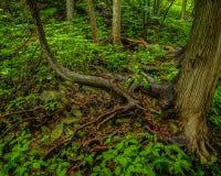 Drzewa i korzeń obok dzikiej bieżącej rzeki zdjęcia stock