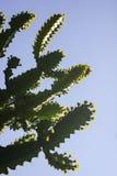 Drzewa i kwiaty euforbii antiquorum Linn Trójgraniasty wilczomlecz Zdjęcia Royalty Free
