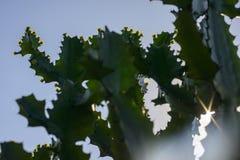 Drzewa i kwiaty euforbii antiquorum Linn Trójgraniasty wilczomlecz Fotografia Stock