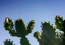 Drzewa i kwiaty euforbii antiquorum Linn Trójgraniasty wilczomlecz Obraz Stock