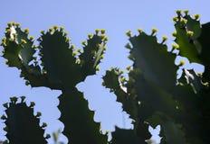 Drzewa i kwiaty euforbii antiquorum Linn Trójgraniasty wilczomlecz Zdjęcia Stock