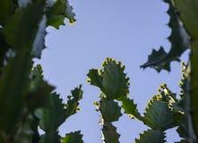 Drzewa i kwiaty euforbii antiquorum Linn Trójgraniasty wilczomlecz Fotografia Royalty Free