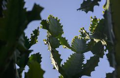 Drzewa i kwiaty euforbii antiquorum Linn Trójgraniasty wilczomlecz Zdjęcie Stock