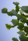 Drzewa i kwiaty euforbii antiquorum Linn Trójgraniasty wilczomlecz Obrazy Stock