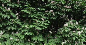 Drzewa i kwiaty kasztan zbiory