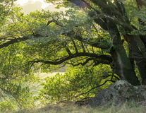 Drzewa i skały w górkowatej łące Obrazy Stock