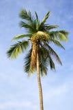 drzewa kokosowe Obrazy Royalty Free