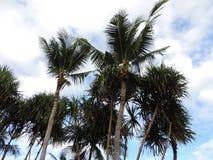 drzewa kokosowe tropikalne Zdjęcia Stock