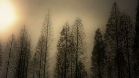 Drzewa koronują kołysanie w wiatrze, metasequoia, dżungla, las zbiory wideo