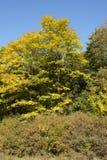Drzewa - krawędź drewno przy jesienią Zdjęcie Royalty Free