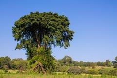 Drzewa kształtują teren w Afryka Zdjęcia Stock