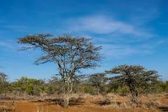 Drzewa kształtują teren w Afryka sawanny krzaku Obrazy Stock