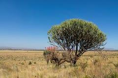 Drzewa kształtują teren w Afryka sawanny krzaku Zdjęcie Royalty Free