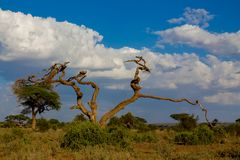 Drzewa kształtują teren w Afryka sawanny krzaku Obraz Royalty Free