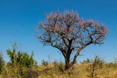 Drzewa kształtują teren w Afryka sawanny krzaku Fotografia Royalty Free