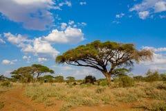 Drzewa kształtują teren w Afryka sawanny krzaku Obrazy Royalty Free
