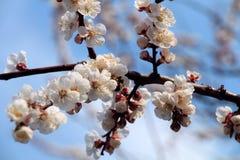 Drzewa kwitną Obraz Stock