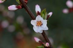 Drzewa kwitną Zdjęcie Royalty Free