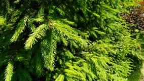 Drzewa lata zielona świerkowa gałąź obraz stock