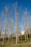 drzewa młodzi Zdjęcie Royalty Free