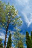 Drzewa na niebieskim niebie Obraz Stock