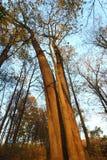 Drzewa od puszka below Fotografia Stock