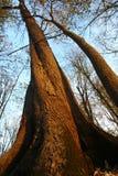 Drzewa od puszka below Zdjęcia Royalty Free