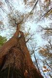Drzewa od puszka below Obrazy Stock