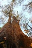Drzewa od puszka below Obraz Royalty Free
