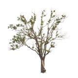 Drzewa odizolowywający obraz stock
