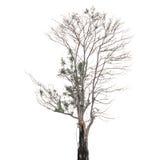 Drzewa odizolowywający obraz royalty free